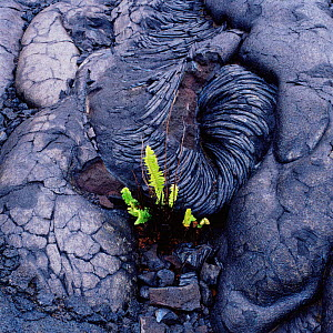Fern growing in old lava flow. Hawaii, USA. - Mark Taylor