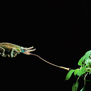 RF- Jacksons 3-horned chameleon (Chamaeleo jacksonii) catching fly. Captive, Kenya. (This image may be licensed either as rights managed or royalty free.)  -  Kim Taylor