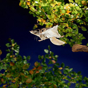 Southern flying squirrel {Glaucomys volans} taking off, Captive  -  Kim Taylor