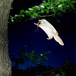 Southern flying squirrel {Glaucomys volans} landing on tree trunk, Captive  -  Kim Taylor