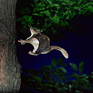 Southern flying squirrel {Glaucomys volans} landing on tree trunk, Captive.  -  Kim Taylor
