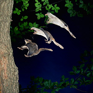 RF- Southern flying squirrel (Glaucomys volans) landing on tree, multiple exposure. (This image may be licensed either as rights managed or royalty free.)  -  Kim Taylor