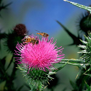 Migrant Marmalade hoverfly {Episyrphus balteatus} + Honey bee {Apis mellifora} on Thistle, UK. - Kim Taylor