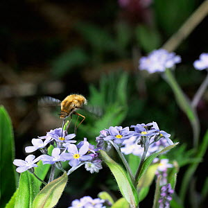 Common bee fly {Bombylius major} feeding on Forget-me-not, UK.  -  Kim Taylor