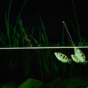 Archerfish jets water at insect to dislodge it from branch {Toxotes chatareus} from SE Asia  -  Kim Taylor