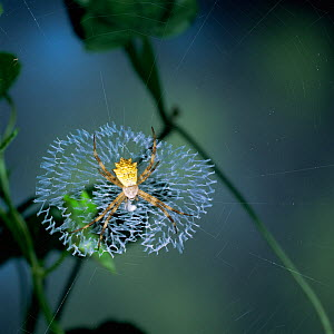 Forest spider {Argiope sp}, note stabilimentum in centre of web, East Africa  -  Kim Taylor