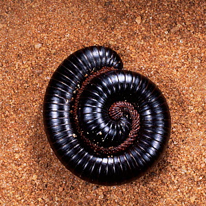 Giant millipede coiled for defense {Diplopoda} East Africa - Kim Taylor