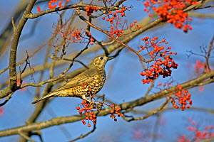 Mistle thrush {Turdus viscivorus} perching in Rowan tree with berries. UK.  -  David Kjaer