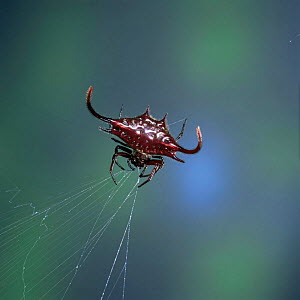 Spiked spider {Gasteracantha sp} eating its web as it winds it in, East Africa - Kim Taylor
