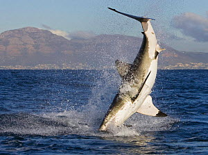 Great white shark {Carcharodon carcharias} breaching.,South Africa.  -  Tony Heald