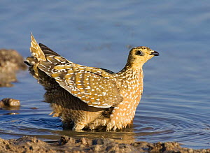 Variegated / Burchells sandgrouse (Pterocles burchelli) gathering water in feathers for chicks, Namibia.  -  Tony Heald