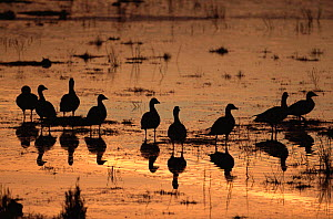 Pink footed geese {Anser brachyrhynchus} at dawn, Marshside RSPB reserve, UK  -  Steve Knell
