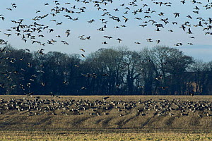 Pink footed geese {Anser brachyrhynchus} landing on farmland, UK, winter - STEVE KNELL