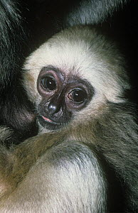 Pileated gibbon {Hylobates pileatus} young male suckling, Captive, from Thailand  -  Rod Williams
