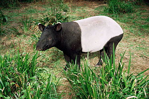 Malayan tapir {Tapirus indicus}, Thailand. Captive - Rod Williams