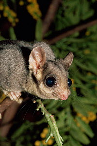 Leadbeaters possum {Gymnobelideus leadbeateri} portrait, Australia. Captive  -  Rod Williams