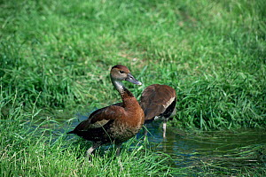 Two Black-billed / West Indian whistling duck {Dendrocygna arborea} Cuba. Captive  -  Rod Williams