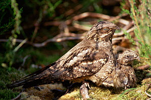 Nightjar {Caprimulgus europaeus} with chick on  ground, UK.  -  Laurent Geslin