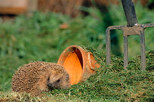 Hedgehog {Erinaceus europaeus} in urban garden, UK.  -  Laurent Geslin