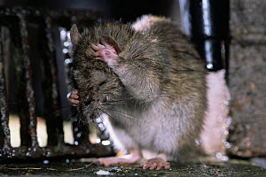 Brown rat {Rattus norvegicus} cleaning itself. Captive. UK. - Laurent Geslin