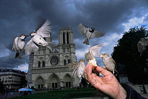 Common / House sparrows {Passer domesticus} being fed by hand in front of Notre Dame, Paris, France. - Laurent Geslin