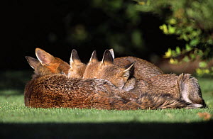 Red fox {Vulpes vulpes} female with three cubs suckling, UK  -  Laurent Geslin