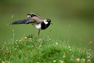 Lapwing {Vanellus vanellus} standing on one leg with wing outstreched. UK.  -  Laurent Geslin