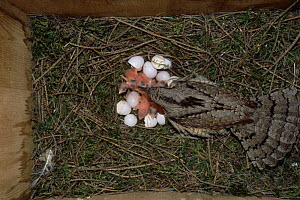 European wryneck {Jynx torquilla} adult with newly hatched chicks and eggs in nestbox. Sequence 3/8. Sweden  -  Bengt Lundberg