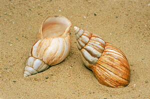 Two Giant African snail {Achatina fulica} shells in sand. - Martin Gabriel