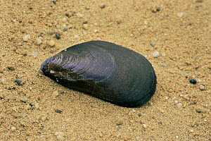 European mussel {Mytilus galloprovincialis} shell in sand. Europe. - Martin Gabriel