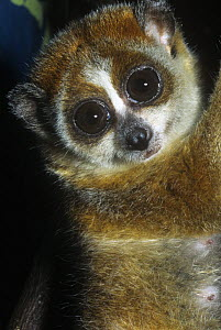 Pygmy slow loris {Nycticebus pygmaeus} Captive, from Laos, China and Vietnam, vulnerable species - Rod Williams