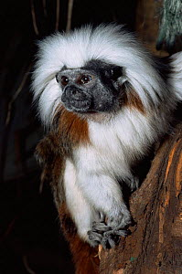 Cotton-top tamarin {Saguinus oedipus} portrait. Captive, from Colombia.  -  Rod Williams