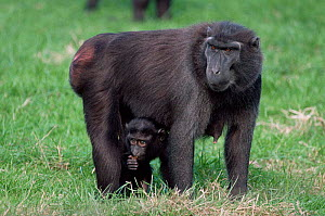Celebes / Black / Sulawesi crested macaque {Macaca nigrai} female with infant. Captive. - Rod Williams