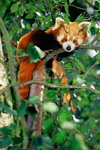 Red Panda {Ailurus fulgens} resting in tree. Captive, occurs India, Nepal, China, Laos. - Rod Williams