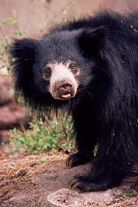 Sloth bear {Melursus ursinus} female portrait. Captive. Sri Lanka. - Rod Williams