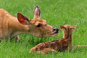 Barasingha / Swamp deer {Cervus duvauceli} female with fawn. Captive. India. - Rod Williams