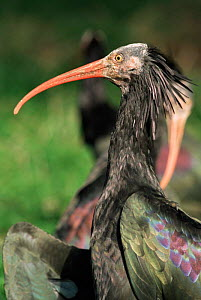 Hermit / Waldrapp / Northen bald ibis {Geronticus eremita} portrait. Captive. - Rod Williams