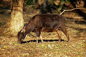 Lowland anoa {Bubalus depressicornis} grazing. Captive. Indonesia - Rod Williams