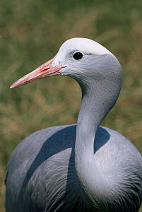 Blue crane {Grus paradisea} portrait. Captive. - Rod Williams