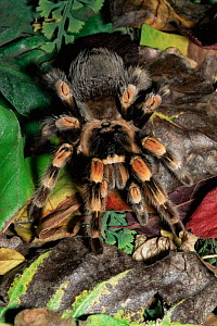Mexican red-knee tarantula {Brachypelma smithii}. Captive. - Rod Williams