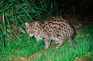 Fishing cat {Prionailurus / Felis viverrinus} male, captive. - Rod Williams