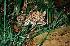 Margay cat {Felis wiedii} male, captive. - Rod Williams