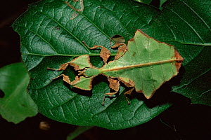 Leaf insect {Phyllium giganteum} on leaf. Captive.  -  Rod Williams