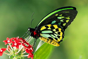 Australian birdwing butterfly {Ornithoptera priamus} male on flower. Captive. Australia. - Steven David Miller