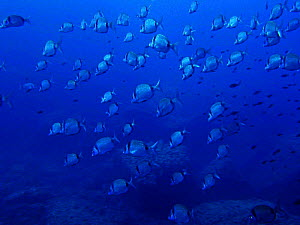 Shoal of Two banded bream {Diplodus vulgaris} Mediterranean. Spain.  -  Jose B. Ruiz