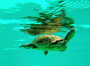 Spanish terrapin {Mauremys leprosa} swimming. Spain. - Jose B. Ruiz