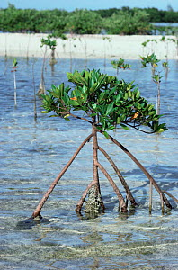 Red mangrove plant with exposed roots {Rhizophora mangle} Bahamas - Doug Perrine
