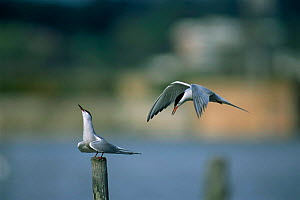 Two Common terns {Sterna hirundo} performing courtship display. UK.  -  Colin Varndell