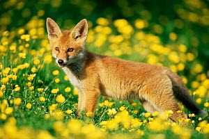 Red fox {Vulpes vulpes} cub in field of buttercups. UK. - Colin Varndell