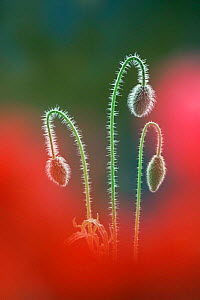 Common poppy flower buds {Papaver rhoeas} portrait. UK.  -  Colin Varndell